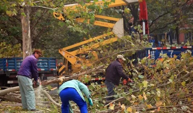 园林处积极开展冬季树木修剪工作_高空作业车